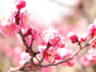 梅の花の写真・画像素材[344877]