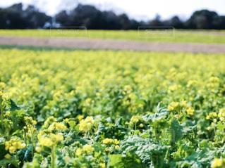 菜の花の写真・画像素材[344878]