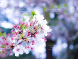 春の写真・画像素材[375166]