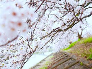 桜の写真・画像素材[375197]