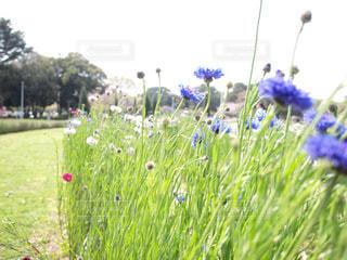 矢車菊の写真・画像素材[387434]