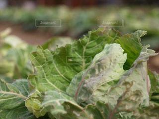 食べ物,緑,植物,野菜,キャベツ,畑