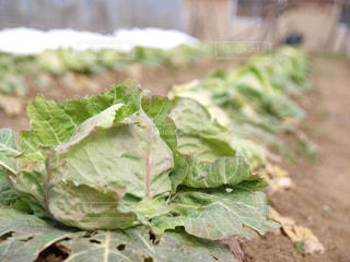 食べ物,緑,植物,田舎,野菜,キャベツ,畑
