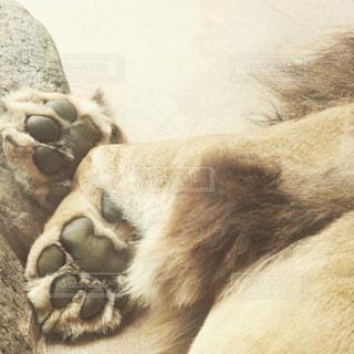 ライオンの足の写真・画像素材[619650]
