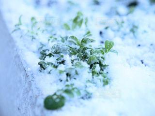 雪に緑の葉の写真・画像素材[1000094]