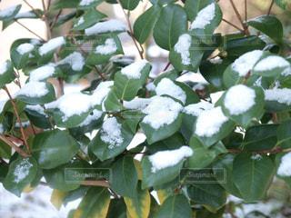 雪と緑の写真・画像素材[1004837]