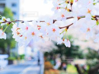 桜の写真・画像素材[1093917]