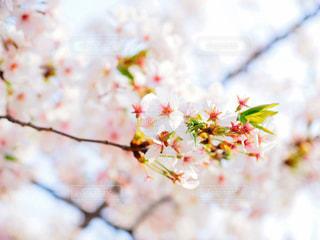 桜の写真・画像素材[1093920]