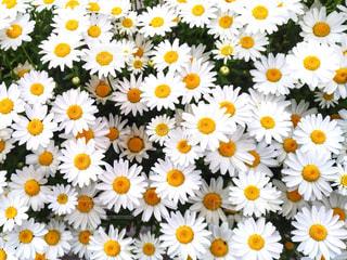 白い花の写真・画像素材[1127959]