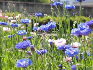 フィールドのカラフルな花のグループの写真・画像素材[1129406]