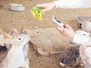 スマホでウサギを撮る女性の写真・画像素材[1174731]