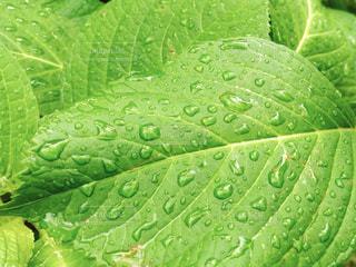 緑の葉のグループの写真・画像素材[1201154]