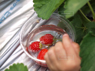 イチゴと手の写真・画像素材[1210383]