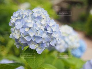 紫陽花の写真・画像素材[1212907]