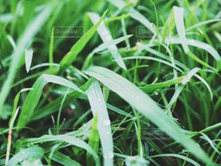 水に濡れた草の写真・画像素材[1450627]