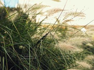 秋の植物 ススキの写真・画像素材[1523278]