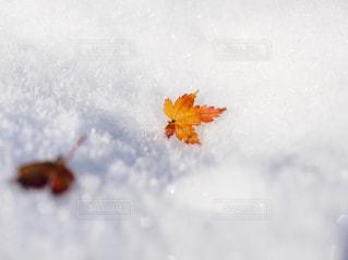 雪と紅葉の葉っぱの写真・画像素材[1696627]
