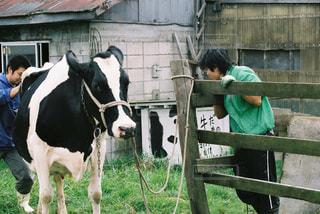 建物の前に立っている牛の写真・画像素材[1820527]