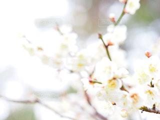 ほんわか梅の花の写真・画像素材[1822119]
