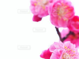 ピンクの花で一杯の花瓶の写真・画像素材[1822120]