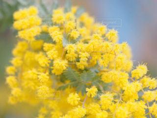 黄色の花の写真・画像素材[1869974]