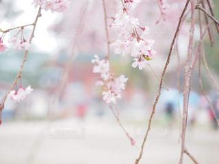 京都の桜の写真・画像素材[2047948]