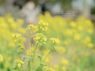 菜の花の写真・画像素材[4266101]