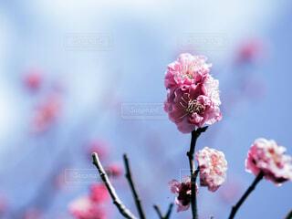梅の花と空の写真・画像素材[4266102]