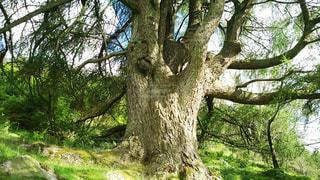 大きな木の写真・画像素材[928426]