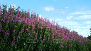 ピンクの花の写真・画像素材[928500]