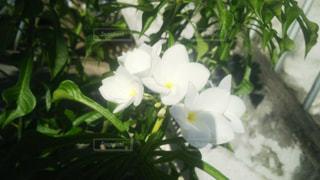 白いプルメリアの写真・画像素材[928616]