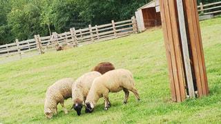 放牧の羊 - No.929378