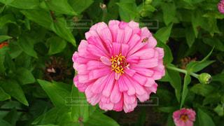 ピンクのジニアの写真・画像素材[929379]