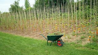 トマト畑と一輪車の写真・画像素材[929384]