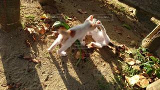 じゃれ合う子猫の写真・画像素材[929506]