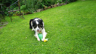 おもちゃで遊ぶ犬♪の写真・画像素材[931765]