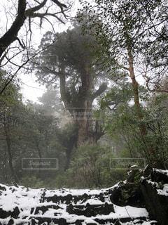 屋久島 雪の中の縄文杉の写真・画像素材[928384]