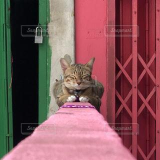 ピンクの塀の上でお昼寝するネコさんの写真・画像素材[2949148]