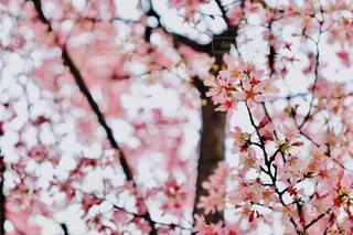 桜の写真・画像素材[1848380]