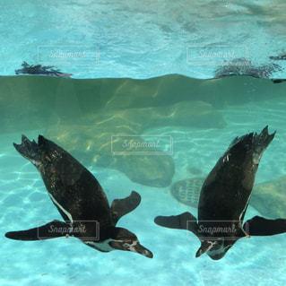 水中を泳ぐペンギンの写真・画像素材[929883]