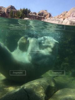 しろくまの水遊びの写真・画像素材[1021388]