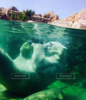 しろくまの水遊びの写真・画像素材[1021389]