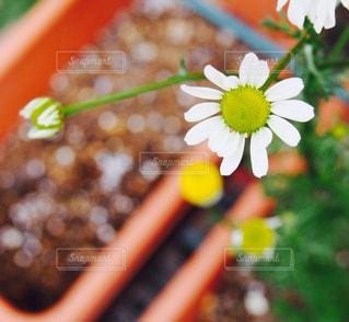 カモミールの花の写真・画像素材[934788]