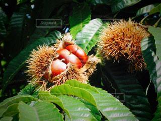 栗の木の写真・画像素材[936317]