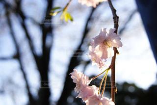 光が花びらから透けるさくらのアップの写真・画像素材[936343]