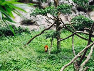 レッサーパンダの後ろ姿の写真・画像素材[943517]