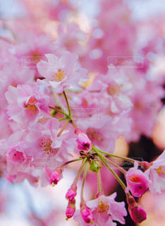 ピンクの桜の花の写真・画像素材[943585]
