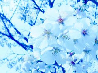サクラの花の写真・画像素材[947509]