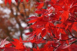 木の枝に赤の花を持つ植物の写真・画像素材[929595]