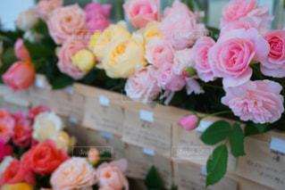 バラの花の写真・画像素材[929702]